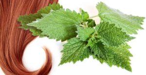 Отвар из сухих, измельченных листьев крапивы используют для ополаскивания волос