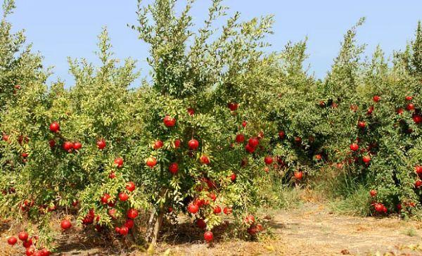 Гранат впервые начали выращивать в Азии