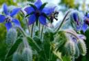 Польза огуречной травы