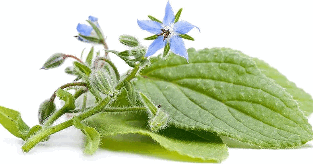листья в свежем виде, цветки огуречной травы